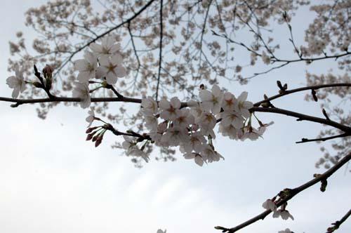 鶴田沼の桜