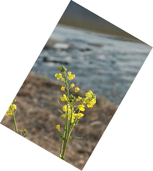 菜の花と田川