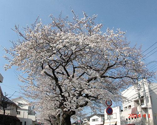 新川の桜1本