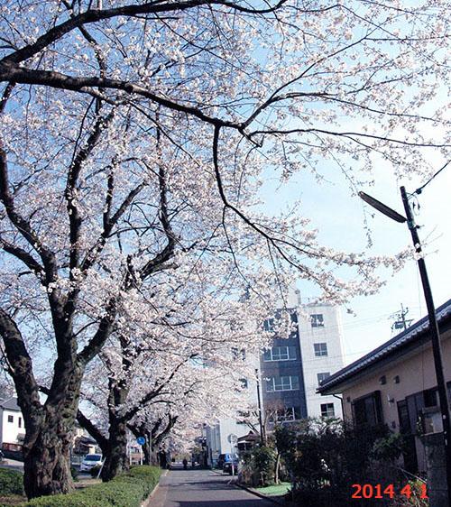 新川の桜並木2