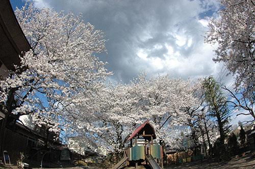 つくし保育園園庭の桜