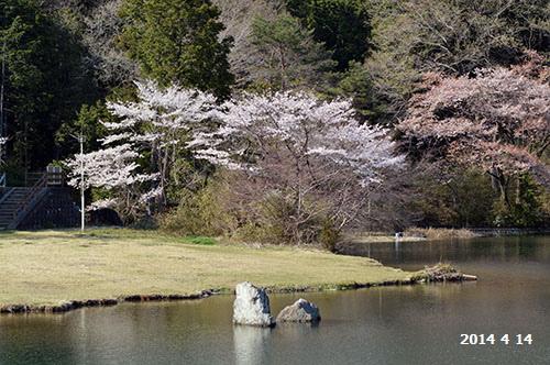 栗谷沢ダムの桜
