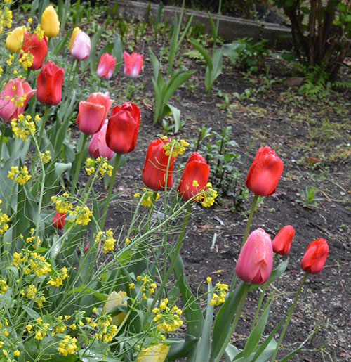 庭のチュウリップ