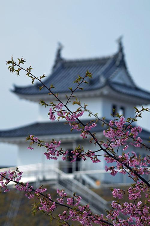 清明台と河津桜