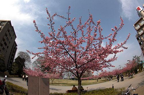 城址公園南Pから河津桜
