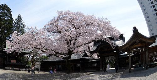 桜の二荒山神社境内