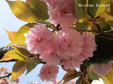 ぼたん桜♪