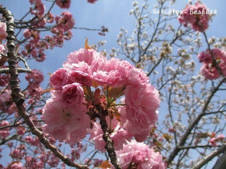 ぼたん桜☆