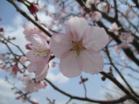 2018 桜♪
