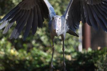 ハシビロコウ、飛ぶ