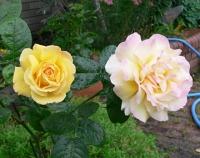 謎の黄色いバラ