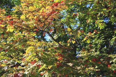秋の樹木ななかまど