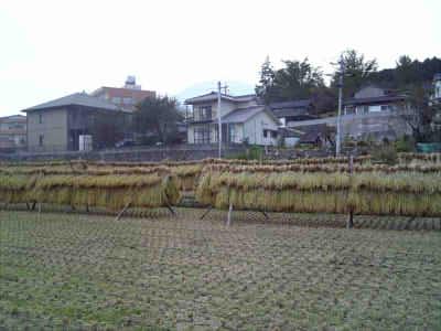 2009/10/22 ばぁちゃんとこで稲刈り