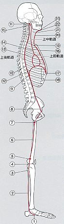 うるうカイロプラクティック、筋膜、