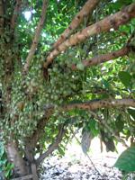 マファイの木