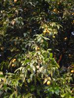 マプラーンの木