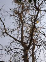 マトゥームの木