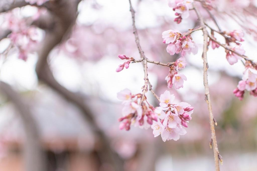 立命館宇治中学・高校の桜