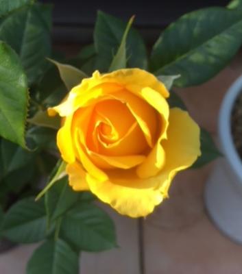 黄色ばら.PNG