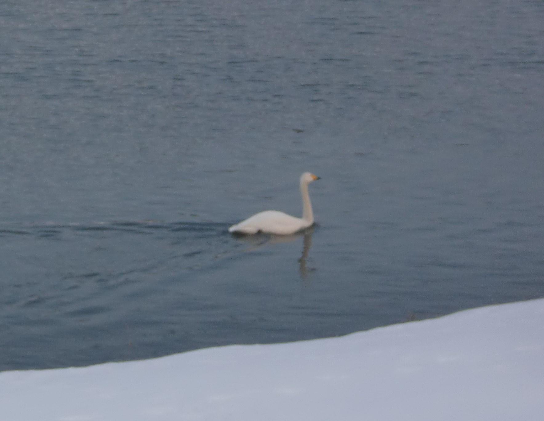 白鳥飛ぶシーン1