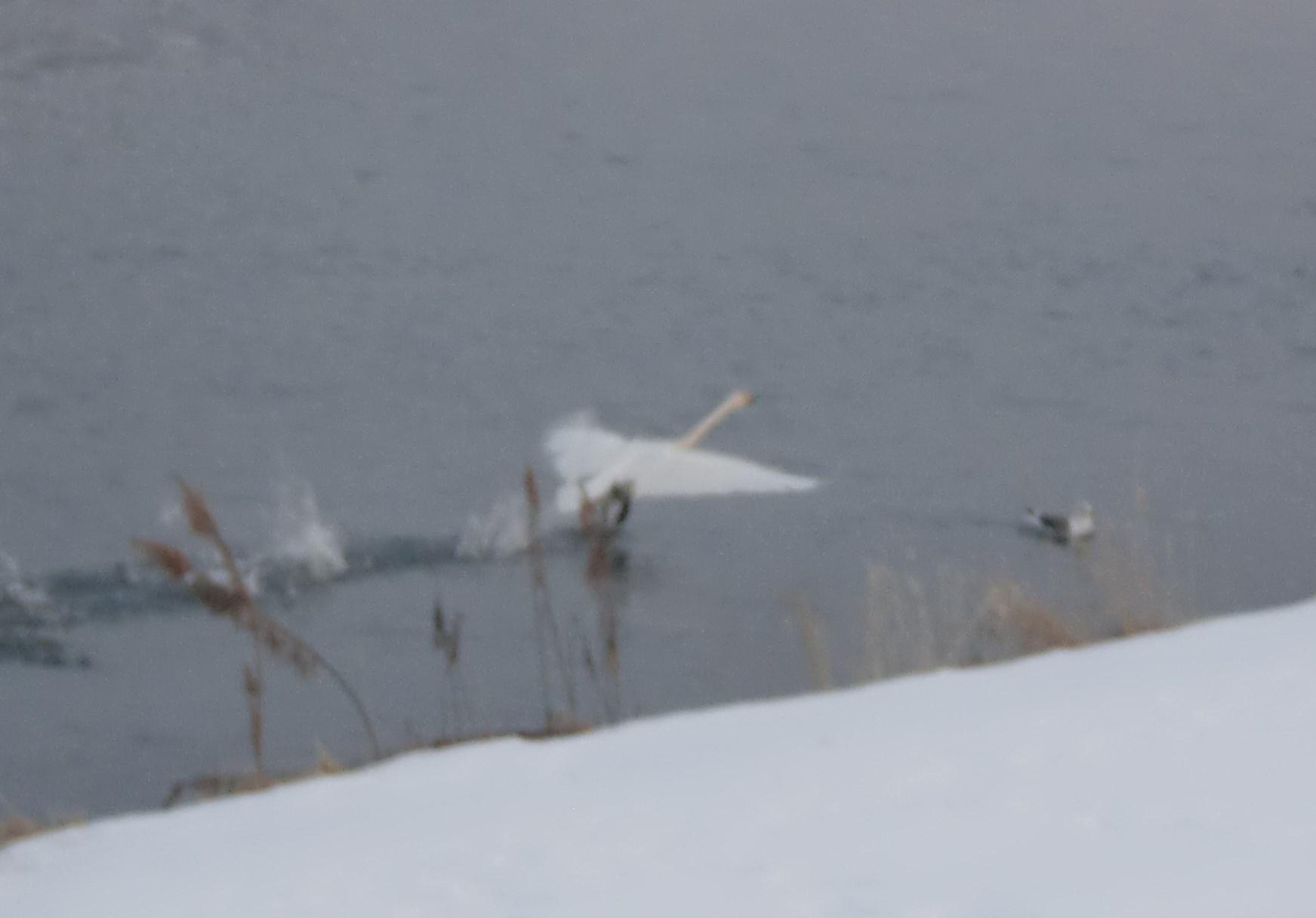 白鳥飛ぶシーン2