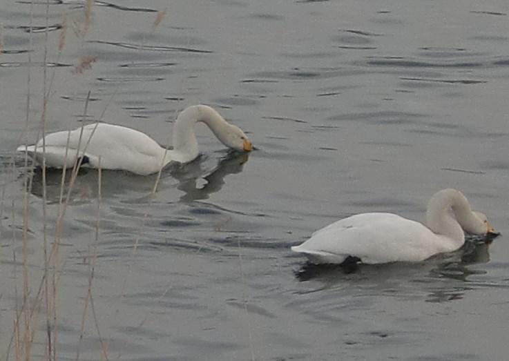 白鳥しぐさ2