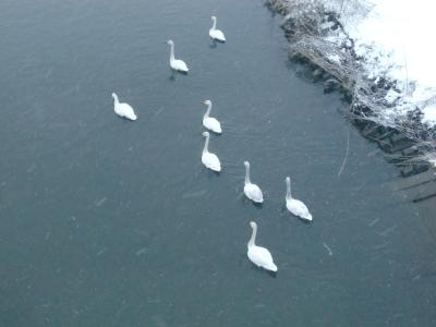 雪と白鳥1