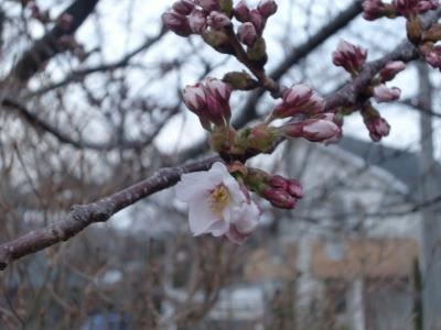 2014年桜3