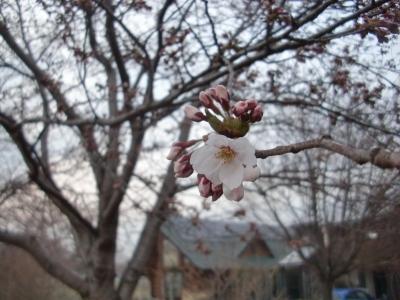 2014年桜4