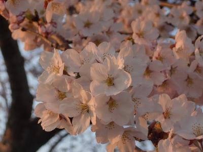 夕日と桜1