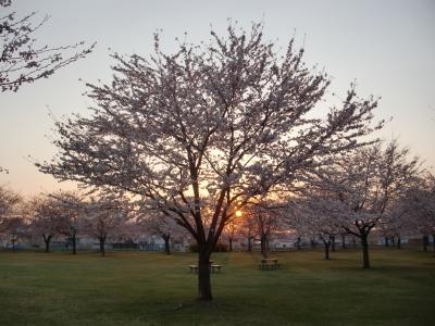 夕日と桜3
