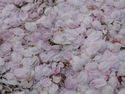 桜散り始め3