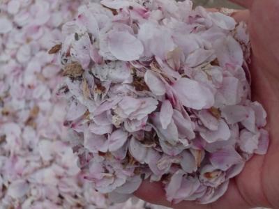 桜散り始め4