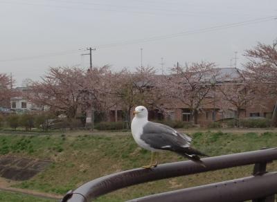 桜とウミネコのコラボ2