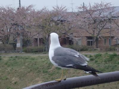 桜とウミネコのコラボ3