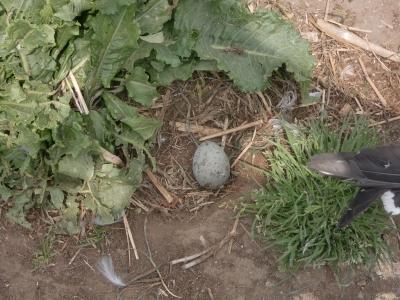 ウミネコ産卵4
