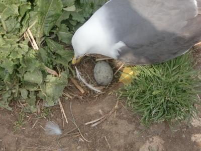 ウミネコ産卵5