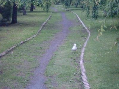 遊歩道のウミネコ2