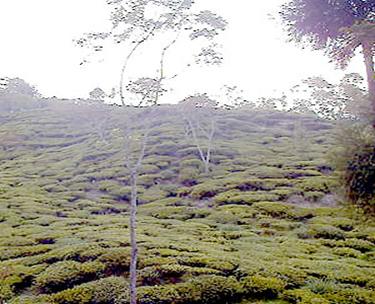 アリヤ茶園