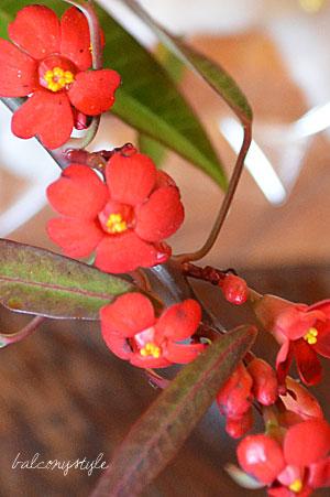 赤花のユーフォルビア