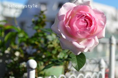 眩しい日差しの中冬のバラ