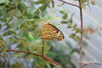 ユーカリに止まる蝶