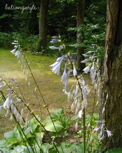 キボウシの薄紫色の花