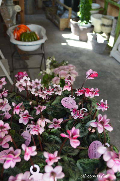 八重咲シクラメンフェアリーピコ