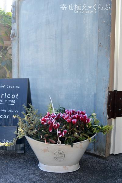 冬の寄せ植えシクラメン覆輪ワインレッドと斑入りリーフ2種+フォレラスティショートバスケットホワイト