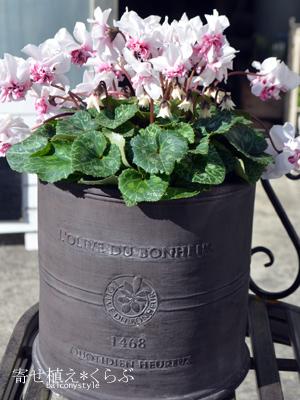 バラ咲きシクラメンローゼス+グラスファイバーオリーブドボヌール ラウンドS チャコール