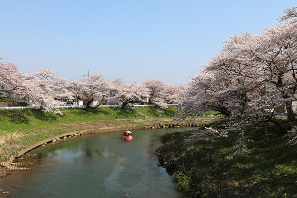 太平川の桜