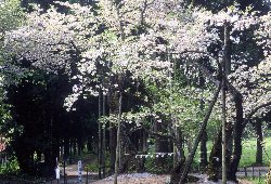 春の大鹿桜。見ごろは5月上旬
