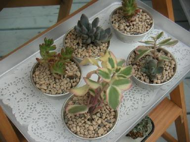 多肉植物セット