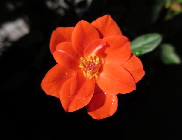 赤いミニバラ.JPG